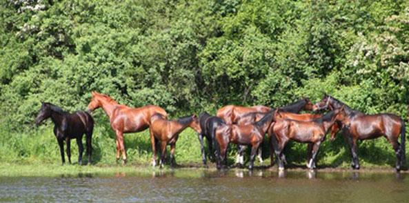 Hochwasser Pferd