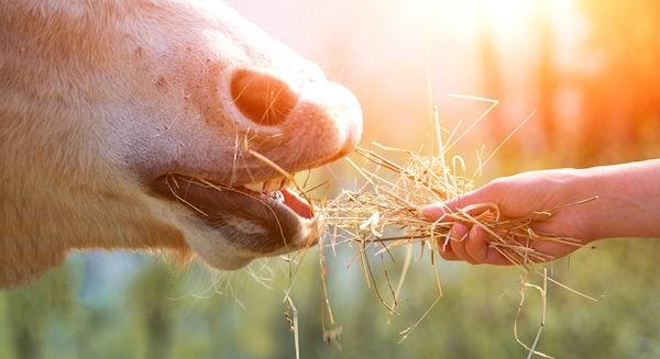 Heulage fürs Pferd - Auslöser vieler Krankheiten?