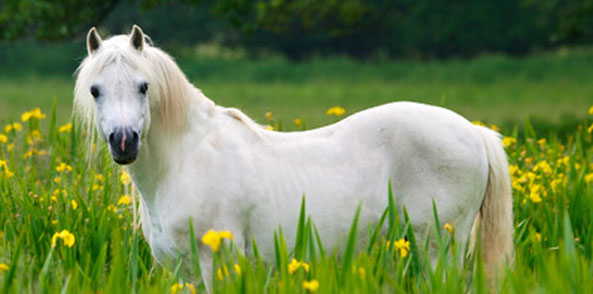 Sommerekzem Pferd