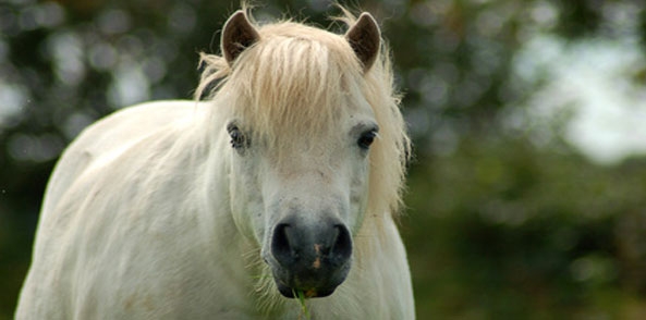 Wohlstandskrankheiten bei Pferden