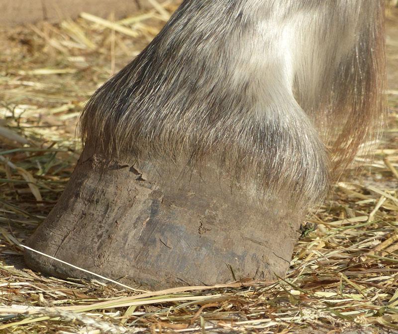 Trockene Hufe beim Pferd können verschiedene Ursachen haben.