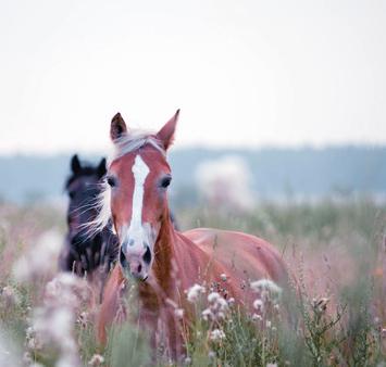 Anweiden Pferde - Hufrehe, Koliken und Durchfall vorbeugen