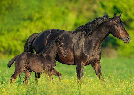 Mangel an der Aminosäure Methionin beim Pferd macht sich durch schlechtes Haut- und Haarkleid sowie spröde Hufe bemerkbar.