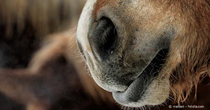 Staub, Pilzsporen und Schimmel lösen Allergien in den Atemwege der Pferde aus