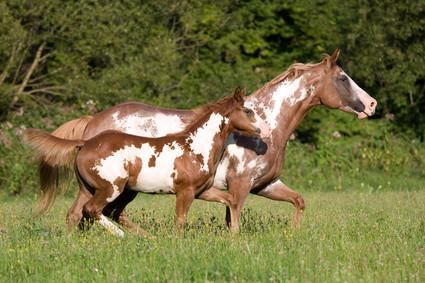 Viele Pferde leiden an sog. Wohlstandskrankheiten. Regelmäßige Bewegung hilft!