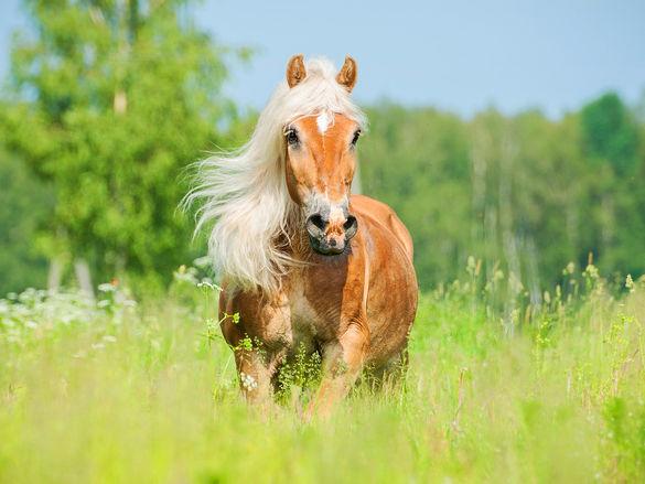 Bierhefe fürs Pferd ist gesund für Haut, Fell und die Verdauung.