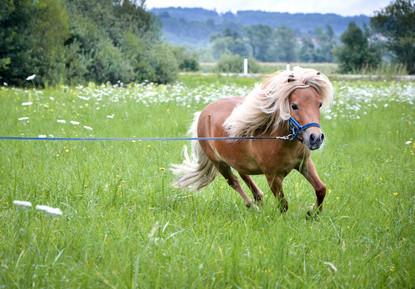 Das A und O bei einem Pferd mit EMS oder Cushing ist eine gezielte Bewegung bzw. regelmäßiges Training.
