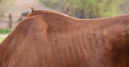 Kraftfutter bei dünnen Pferden muss vorsichtig gefüttert werden.