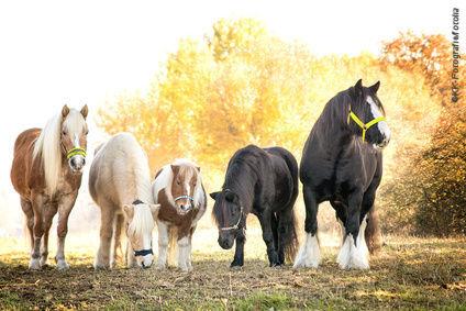 Eisenüberschuss beim Pferd ist selten aber nicht unproblematisch.