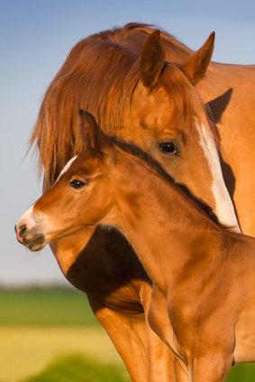 Die Entgiftung beim Pferd setzt eine genaue Anamnese voraus. Leber, Nieren und der Verdauungstrakt beim Pferd können mit Kräutern entgiftet werden.
