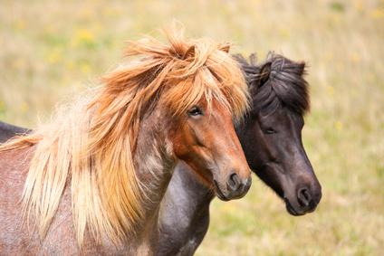 Fuetterung Pferd Hufrehe