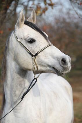 Erhöhte Monzyten im Blutbild der Pferde sind ein Hinweis auf eine Erkrankung.