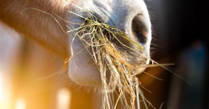 Füttern Sie nur Heu mit guter Qualität an Pferde.