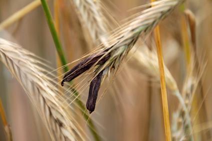 Mutterkorn im Getreide oder an den Blüten der Weidegräser sind hoch giftig.