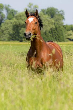 Die Leber erfüllt viele Aufgaben beim Pferd.