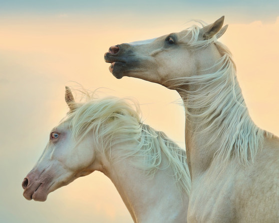 Esparsetten-Cobs enthalten einen hohen Anteil an Tanninen - für Pferde nicht unbedenklich!