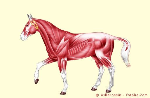 CK im Blutbild beim Pferd sagt einiges über den Muskelstoffwechsel aus.