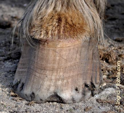 wissenschaftliche Erkenntnisse zum Biotin beim Pferd