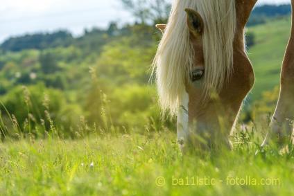 Wie gesund ist die Weide für das Pferd - Fruktan und Endophyten im Weidegras.