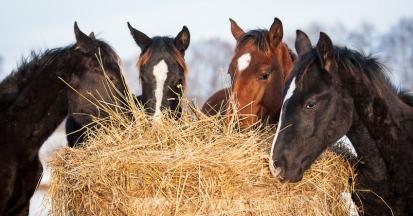 Das Fressverhalten der Pferde hängt auch von der Heudarbietung ab.