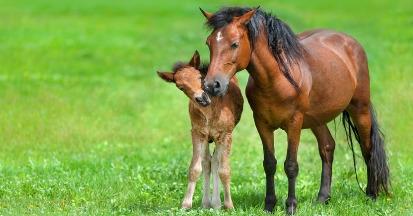 Die richtige Fütterung einer tragenden Stute ist für ihre und die Gesundheit des Fohlens essenziell.