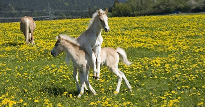 Der Löwenzahn kann als vielseitige Futterplanze in der Pferdefütterung eingesetzt werden.