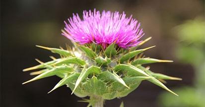 Die Mariendistel ist besonders als Heilpflanze bei Leberproblemen von Pferden bekannt.