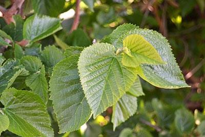 Einsatz und Wirkung von Maulbeerblättern