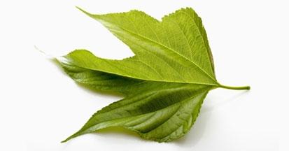 Die Maulbeerblätter und ihre Wirkung