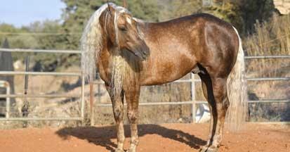 PSSM und andere Muskelstoffwechselerkrankungen bei Pferden