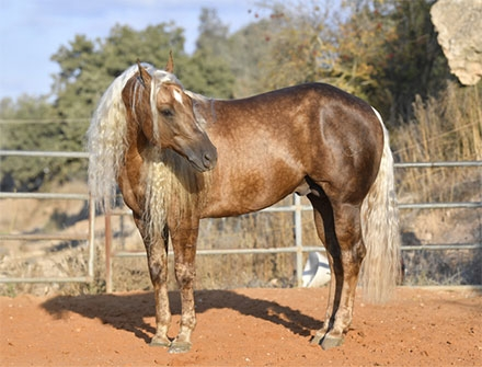 PSSM beim Pferd