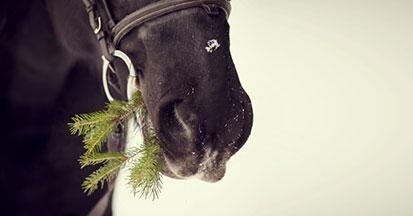 Eine sehr wichtige Antwort auf die Frage, ob man seinen Weihnachtsbaum an sein Pferd verfüttern darf.