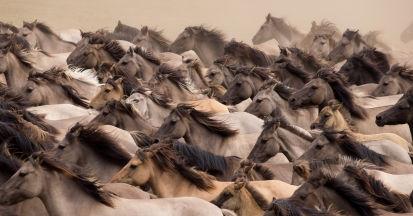 Es gibt gute Gründe dafür, dass Pferde in freier Wildbahn nicht zu einer Plage werden.